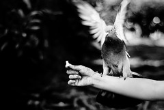 Bird feeding. A pigeon approaching the arm of the tourist for a meal without competitions. #kalapati (hijo_de_ponggol) Tags: bird for arm feeding pigeon tourist meal without approaching competitions a kalapati