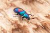 Tenebrionidae. Augolesthus sp. ~12mm (David Ball.) Tags: singapore darklingbeetle tenebrionidae canon270ex augolesthus