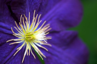 Clematis Star  ...EXPLORED  12-29-2015  ...Thanks!