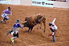 Bull Fighters in Action. (The Old Texan) Tags: texas rodeo bullriding bullfighters
