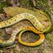 Common Swamp Snake (Liophis reginae)