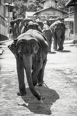 Rushing (BoXed_FisH) Tags: travel shadow blackandwhite bw elephant monochrome animal mammal mono asia zoom sony monotone tele srilanka pinnawela traval elephantorphanage sonyalpha rambukkana sabaragamuwaprovince sal70300g sonysal70300g sonya7