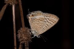 IMG_9505 (Chaitanya Shukla) Tags: india macro butterfly maharashtra in kokan guhagar peablue patpanhale shringartali
