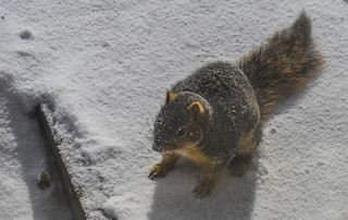 Squirrel on Fresh Snow