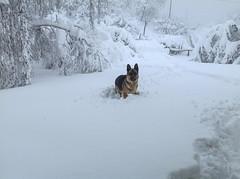 WINTER  INVERNO (2) (MY SECRET WINDOW) Tags: winter dog snow ice cane garden shepherd german snowfall blizzard inverno giardino nevicata pastoretedesco canelupo