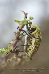 319A5966 Sulphurous jewel beetle, Julodis euphratica, UAE (Priscilla van Andel (Uploading database)) Tags: uae jewelbeetle julodiseuphratica buprestidaefamily sulphurousjewelbeetle matingjewelbeetles coleopteraoftheuae