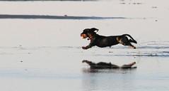 Flying Dachshund - explore 22. Jan. 2016 (Nephentes Phinena ☮) Tags: dog dachshund hund dackel stpeterording