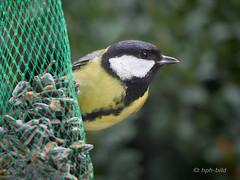 Meise - 160231-24_web (Brenda-Gaudi) Tags: fauna germany tiere garten tier vogel meise voegel paridae singvogel