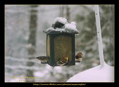 Birds' Table By The Window... La Table Prs D'Une Fentre Des Oiseaux (Supersyl08) Tags: snow birds goldfinch january birdfeeder neige janvier oiseaux 2016 mangeoire chardonneret supersyl