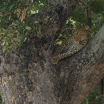 Finally - a Leopard thumbnail