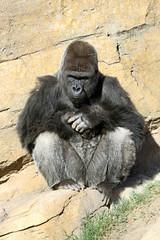Gorille de Côte (olivier.ghettem) Tags: africa valencia spain espagne primate valence afrique singe gorille grandsinge dosargenté bioparcvalencia gorilledecôte