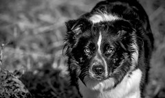 """5/52 """"You can't fool me!"""" (JJFET) Tags: mist dogs for collie 5 border weeks 52"""