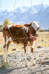A calf in Tashkurgan (inchiki tour) Tags: travel mountains animal cow highway village snapshot uighur xinjiang silkroad karakoram kkh  uyghur traveling tajik calf centralasia  pamir    2015 tashkurgan  taxkorgan karakoramhighway tashkorgan