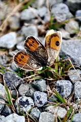 Butterfly (lkbuchan) Tags: travel newzealand nature butterfly insect wildlife nz mountcook aoraki travelnz