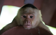 DSC_5399-1 (b.solman) Tags: costa monkey rica whitefaced