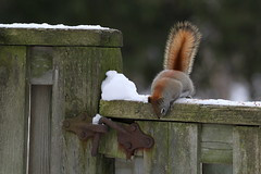 There must be a way.... (Doris Burfind) Tags: winter snow animals fence squirrel rust gate latch americanredsquirrel