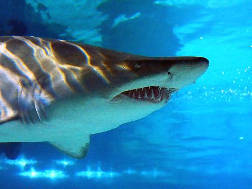 Greater Cleveland Aquarium 01-22-2015 - Sandtiger Shark 5