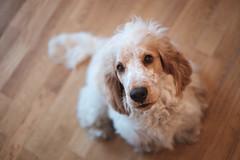 Begging (cornilc) Tags: portrait orange dog chien pet puppy milo indoor depthoffield explore spaniel cocker roan xseries xt1