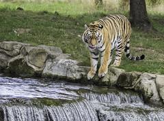 Tiger At The Water (saxman1597) Tags: portrait england nature water beauty cat wildlife yorkshire doncaster amurtiger nikond3300 sigma150500apohsmos yorkshirewildlifeparkdoncaster