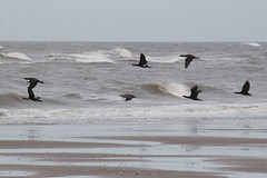 Cormorants (NTG's pictures) Tags: sea shells cormorants bay harbour gulls pebbles bae rhyl oystercatchers kinmel cinmel