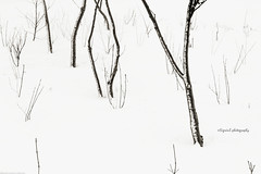 Trees in Winter (Sigrun Saemundsdottir) Tags: trees winter white snow abstract cold tree nature lines naked season frozen iceland pattern natural bare branches freezing line treetrunk trunk snowing scandinavia frigid chill baretrees northernhemisphere