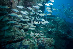 NE_Abrolhos0017 (Visit Brasil) Tags: horizontal brasil fauna natureza bahia nordeste detalhe externa abrolhos semgente subaqutica diurna