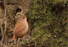 Wren-6606 (Kulama) Tags: winter nature birds woods westsussex wildlife wren warnham