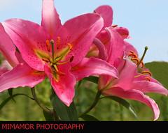 Happy valentine's Day (MIMAMOR) Tags: flowers flores lirio felizdiadesanvalentin happyvalentinesday mimamor