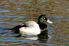 Greater Scaup Male (Lois McNaught) Tags: winter bird nature water duck outdoor wildlife avian greaterscaup hamiltonontariocanada