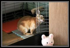 Ichigo san 48 (mensore) Tags: brown rabbit bunny san ichigo netherlanddwarf