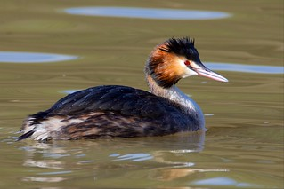 Great Crested Grebe (Explored 11-02-16)