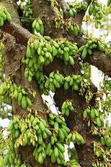 02262016_012_ (ALOHA de HAWAII) Tags: hawaii oahu manoavalley bilimbi averrhoabilimbi fruitsandflowersalloverthetree