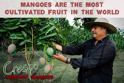 """Mangoes Most Cultivated Fruit • <a style=""""font-size:0.8em;"""" href=""""http://www.flickr.com/photos/139081453@N03/25131822643/"""" target=""""_blank"""">View on Flickr</a>"""
