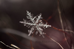 IMG_9181 (nitinpatel2) Tags: macro snowflakes patel nitin
