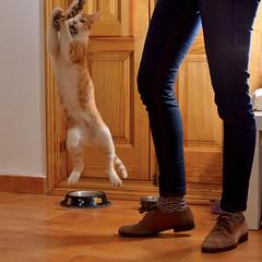 Gato Jinks  (19) (adopcionesfelinasvalencia) Tags: gato jinks