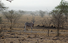 200. East African Oryx [Oryx beisa], Awash National Park, Oromia Region, Ethiopia (Jay Ramji's Travels) Tags: africa antelope ethiopia äthiopien awashnationalpark oryxbeisa eastafricanoryx oromiaregion