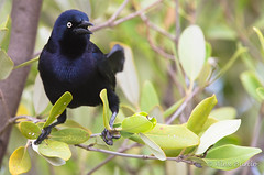 Greater Antillean Grackle - Quiscalus niger (Aphelocoma_) Tags: bird nature animal march photo spring image wildlife cuba aves grackle photograph blackbird cayococo icteridae 2015 passeriformes quiscalus greaterantilleangrackle canonextenderef14xii icterid quiscalusniger ciegodevila canoneos5dmarkiii canonef300mmf28lisiiusmlens