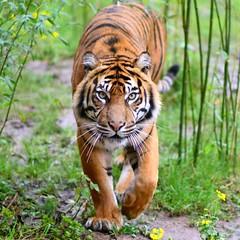 Sumatran Tiger (gary.tootle17) Tags: 25faves bigcat nikon85mm18g d3300 nikon sumatrantiger tiger