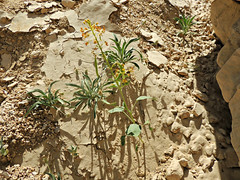 Cleome rupicola (tinlight7) Tags: orange uae plantae alain wildflower cleome magnoliophyta magnoliopsida cleomaceae tracheophyta taxonomy:class=magnoliopsida brassicales taxonomy:kingdom=plantae taxonomy:phylum=magnoliophyta taxonomy:order=brassicales taxonomy:genus=cleome taxonomy:family=cleomaceae cleomerupicola taxonomy:species=rupicola taxonomy:superphylum=tracheophyta wadinahyan taxonomy:binomial=cleomerupicola