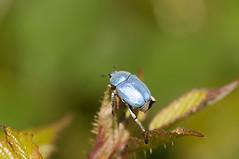la Hoplie bleue, ou Hoplia caerulea. (serago64) Tags: macro nature insecte bleue hoplie