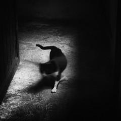 (Daniel Iván) Tags: cat cats gato gatos blancoynegro blackwhite blackwhitephotography blackwhitephoto blackandwhite blackwhitephotos poirot blur blurism motionblur animal pet mascota black thedecisivemoment littledoglaughednoiret thecatwhoturnedonandoff
