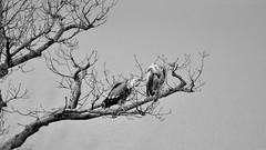 VULTURE // GEIER (WODKA & CAMERAS) Tags: life wild bw white black bird nature monochrome birds animals germany deutschland grey tiere und natur sw vulture vgel weiss schwarz vogel scavenger naturpark wildpark geier edersee aasfresser