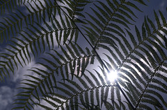 Through a tree fern; blinking (OzzRod) Tags: pentax flare intothesun k50 smcpentaxa50mmf17 travellingniftyfifty appiroo