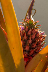 la evolucin de la pia (Ileana Hurtarte) Tags: color verde planta luz fruit garden rojo guatemala jardin fruta bebe sombras diversidad pia colorido tonalidades piita anarajando
