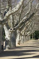 trees (Marlis1) Tags: trees light shadows planes sycamores platanen marlis1 tortosacataluñaespaña canong15 parcteodorgonzaleztortosa platanusxhispanicus