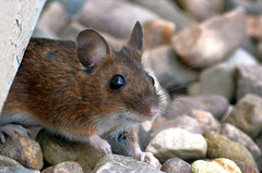 Did someone say cute?? (Lynncam26) Tags: cute nature mouse wildlife peanuts whiskers tiny
