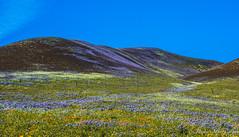 California Bloomin' and Poppin'  8 (MarcCooper_1950) Tags: flowers sky orange green colors landscape nikon scenery purple 15 bloom wildflowers southerncalifornia hdr gorman lightroom richcolor d810 superbloom marccooper