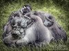 Monkeys - Sulawesi Crested Macaque (Jay Lethbridge Photography) Tags: indonesia monkey sulawesi primate celebes macacanigra paintover blackape celebescrestedmacaque sulawesicrestedmacaque robtoombs digitalpaintover jaylethbridgephotography