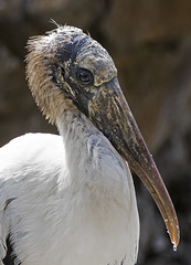 Beady eyed bird (ORIONSM) Tags: portrait bird eye florida seaworld beady sigma18250 pentaxk3