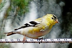 Male Goldfinch in Mid Molt (--Anne--) Tags: nature birds yellow wildlife goldfinch finch molting